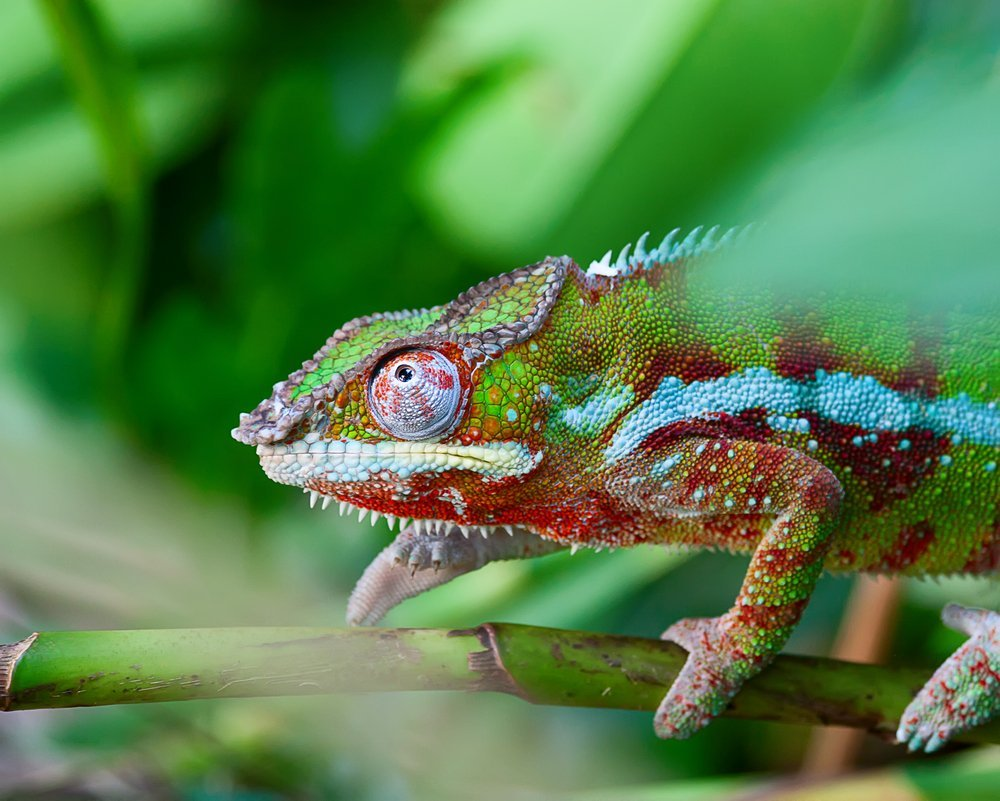 Uncategorized Picture Of Chameleon why and how chameleons change their color chameleon