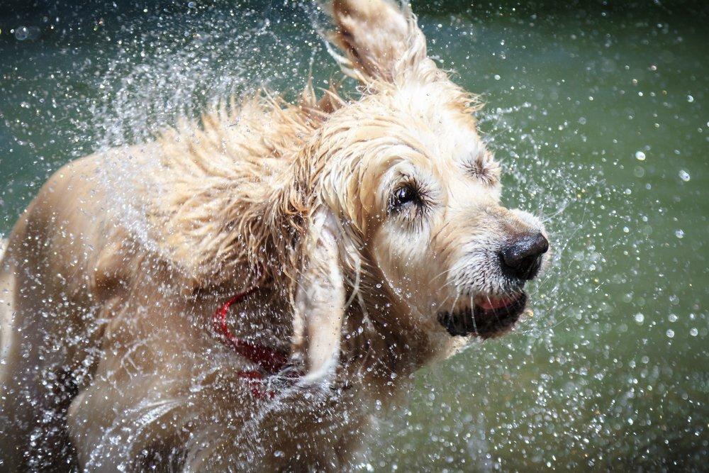 Hvorfor Er En hund Stink Efter det bliver vådt Science Abc-7650