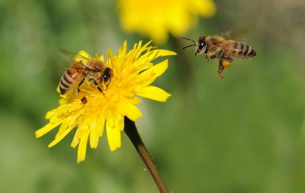 Risultati immagini per bee extinction