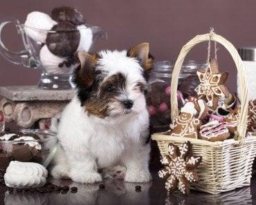 Dog Chocolate