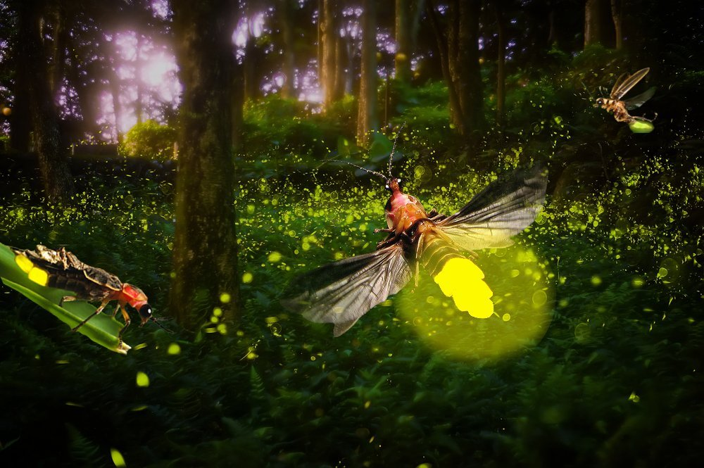 why do fireflies glow essay Firefly eggs glow adult fireflies aren't the only ones that glow what kind of habitat do fireflies like why do they like standing water | more.