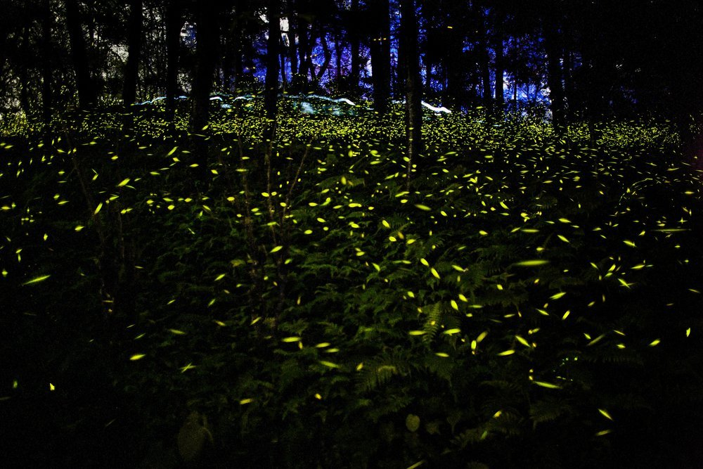 How And Why Does A Firefly Glow 187 Science Abc