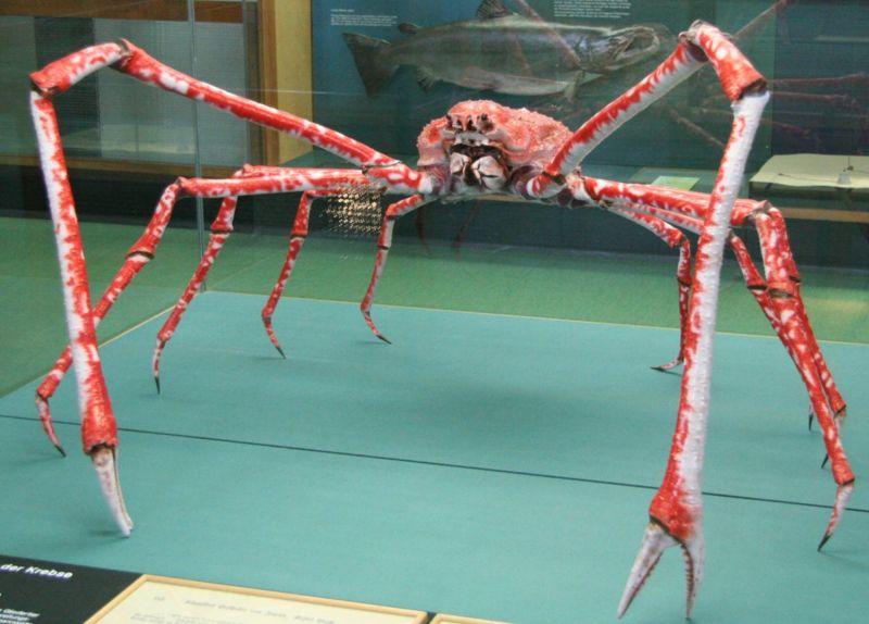 Spider Crab Size japanese-spider-crab-size