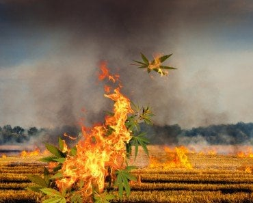 Marijuana Burning Fields