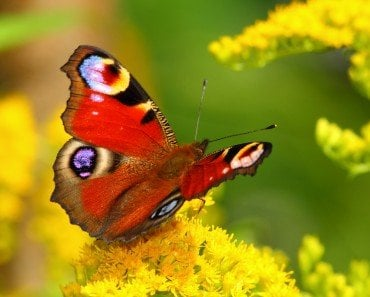 Butterfly Colorful Wings