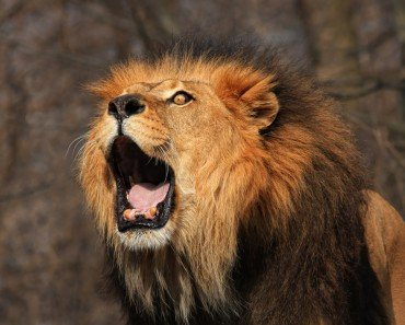 Lion Roaring: What Makes a Lion's Roar so Loud and Intimidating?