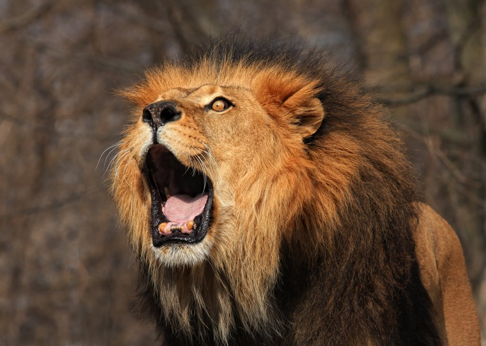Lion Roaring What Makes a Lions Roar so Loud and Intimidating