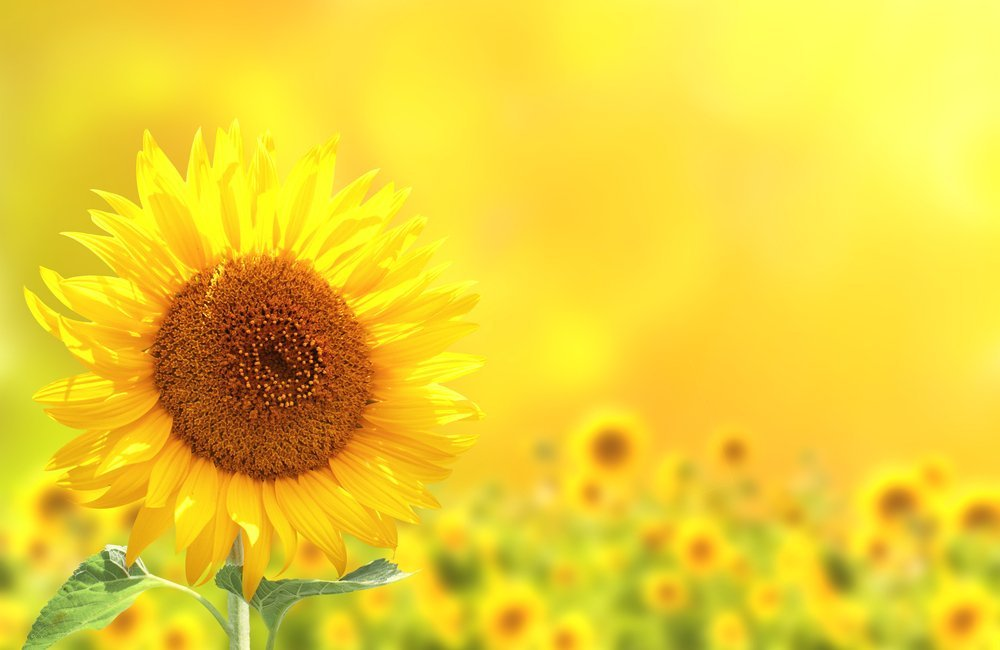 Why do sunflowers always face the sun science abc mature sunflower mightylinksfo