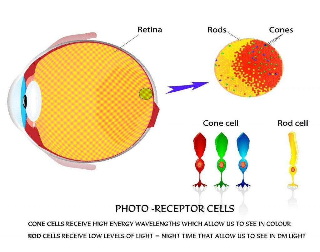 photoreceptor cells