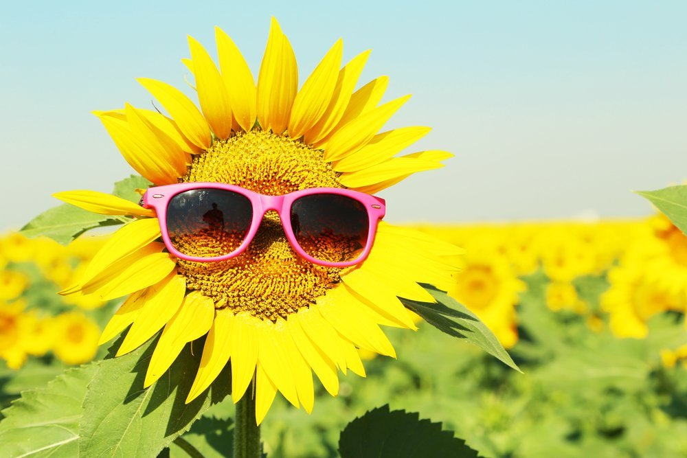 why do sunflowers always face the sun? » science abc, Beautiful flower