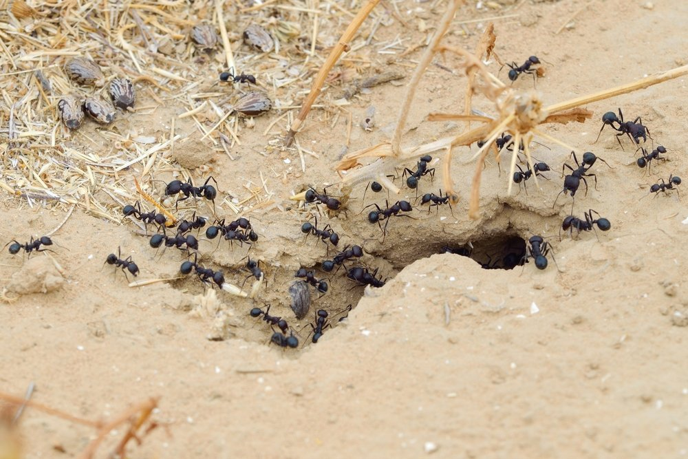 How Do Ants Organize Their Colonies? » Science ABC Queen Ant Laying Eggs