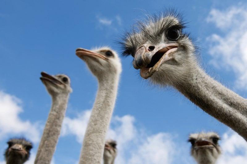 Ostrich Head In Sand  Do Ostriches Really Bury Their Heads