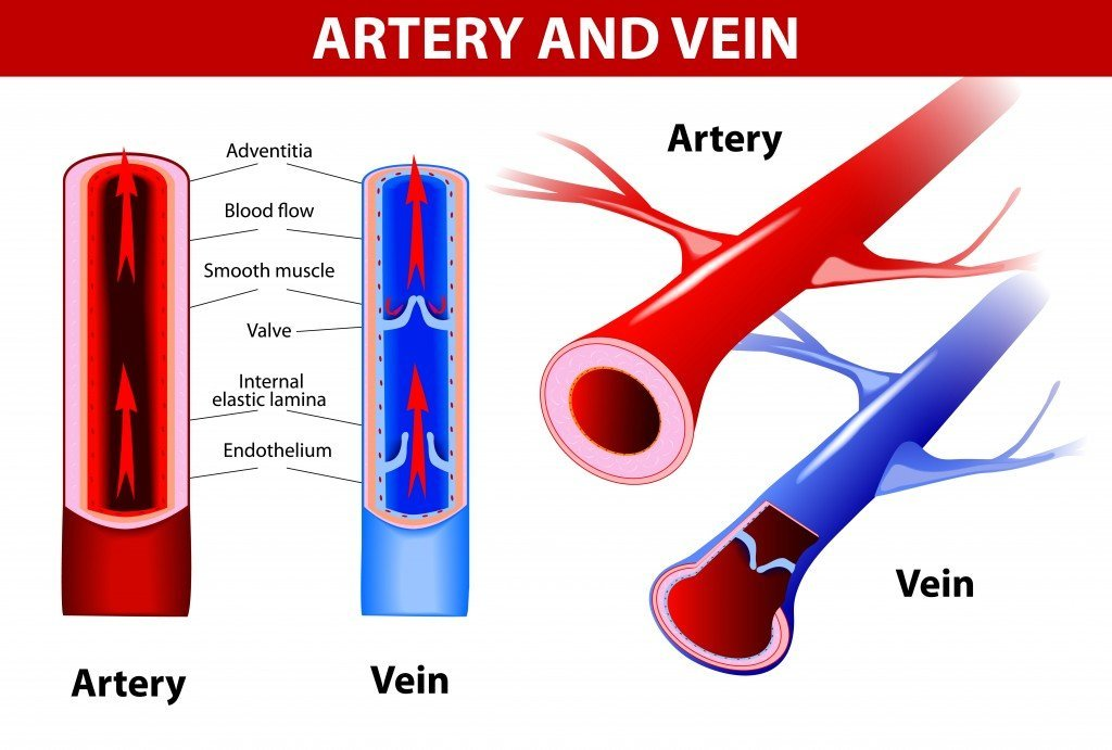 Why Is Blood Taken From Veins And Not Arteries besides The Importance Of Swimming Pool Circulation together with The Digestive System in addition Respiratory in addition Capillaries. on circulatory system process