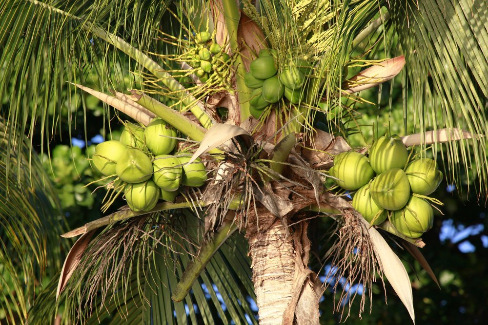 how to grow a coconut tree from seed
