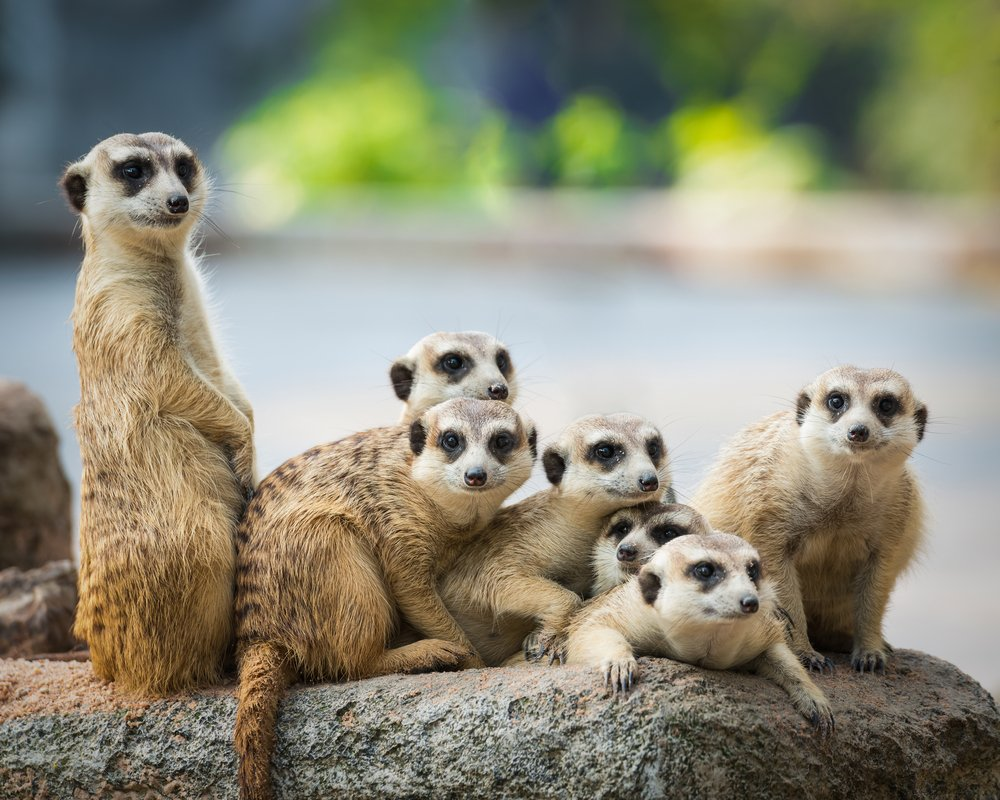 Unity And Togetherness: The Secret To Meerkats' Formidable