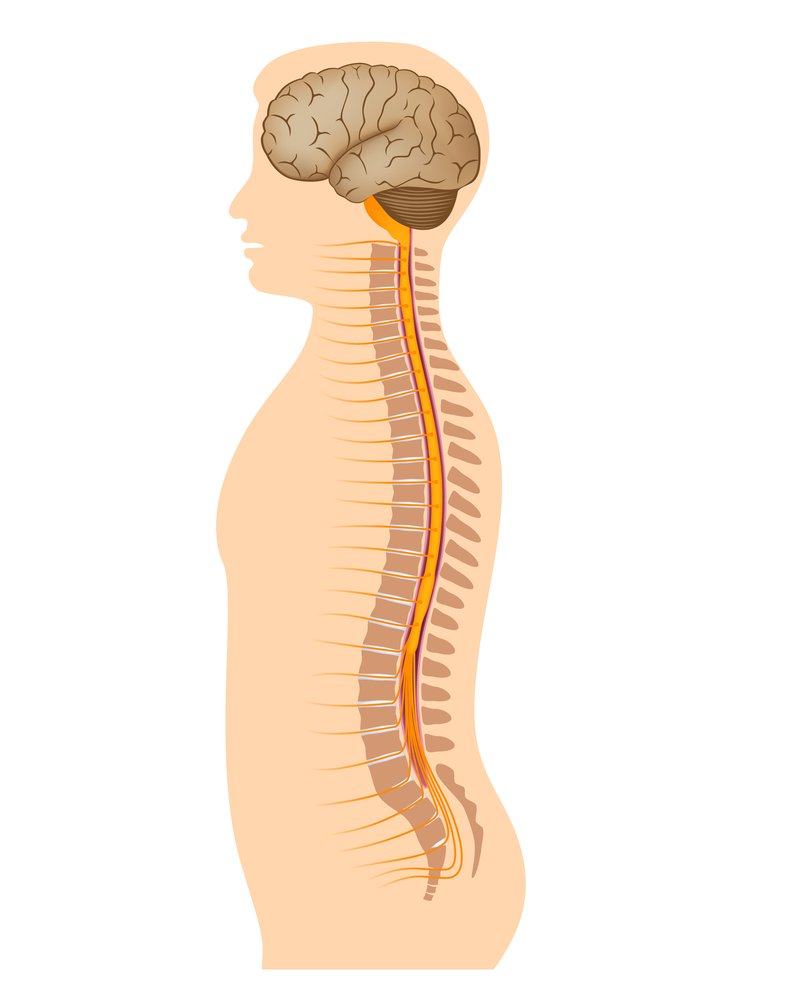 What is the Spinal Cord? What Is Its Anatomy And Function?