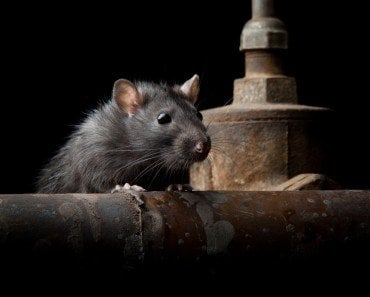 Why Are Rats The Most Preferred Animals For Experiments?