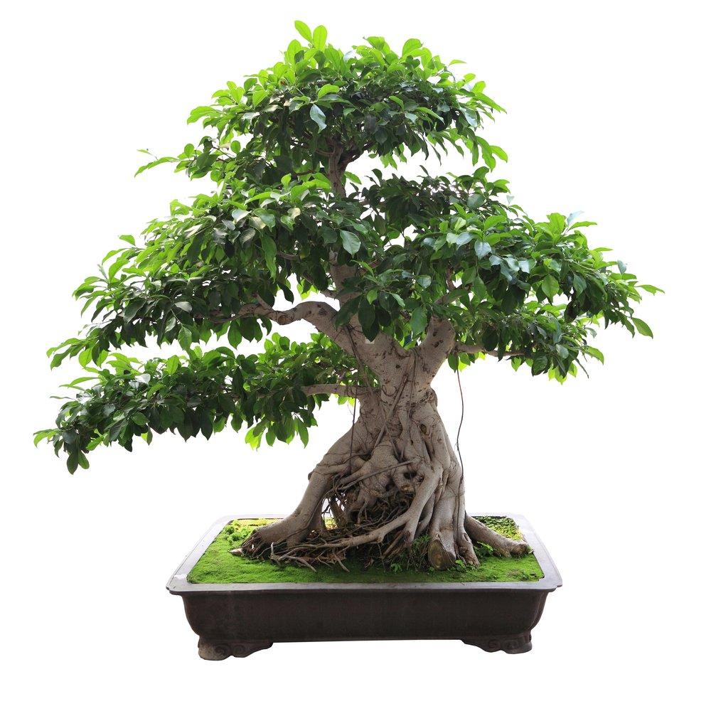 Why are bonsai trees so small science abc for Bonsai tree pics
