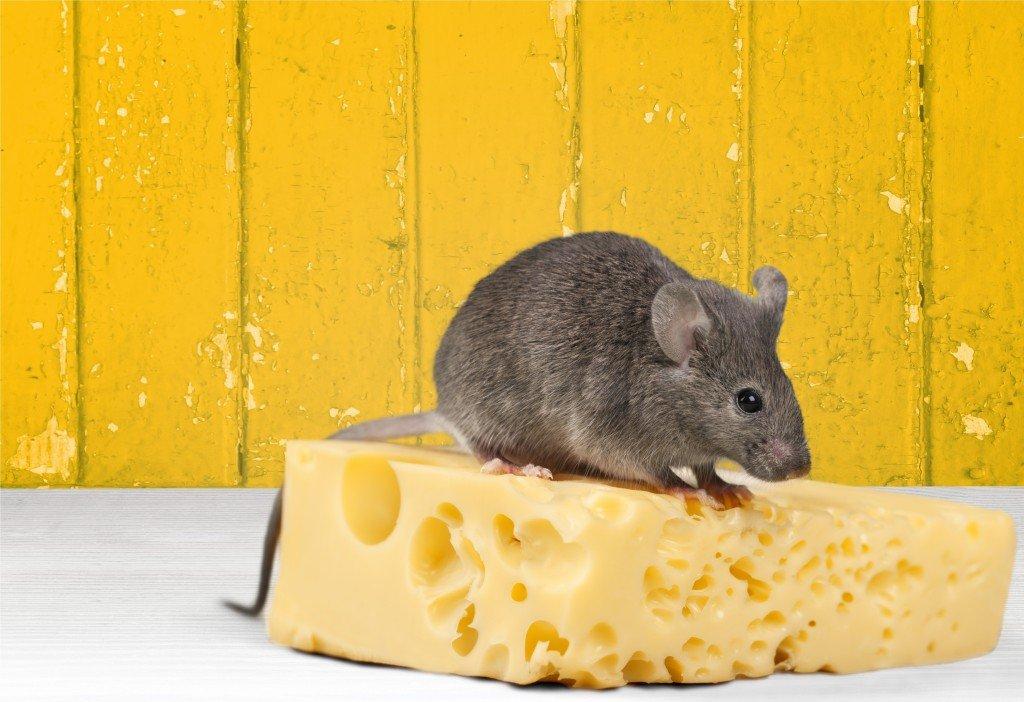Эта мышь сделана из сыра.