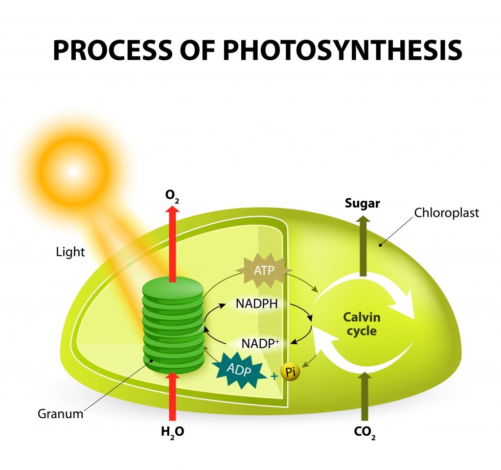 Photosynthesis, Energy, and Life - Photosynthesis keeps life The site of photosynthesis in a plant is