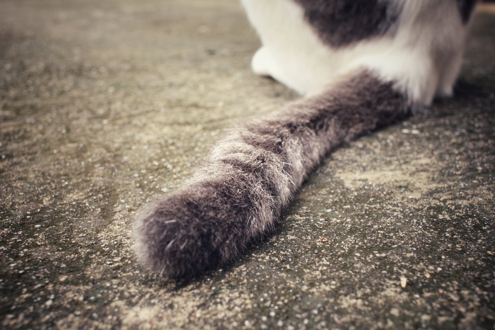 Why Do Cats Have Tails And Humans Don