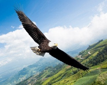 Eagle navigating fly