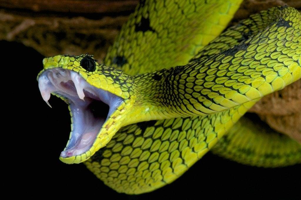 How Does Snake Venom Kill Humans? Why Doesn't It Kill The Snake Itself