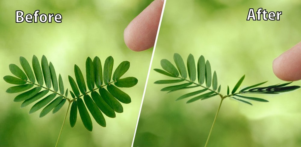 Mimosa Pudica Why Do Touch Me Not Sensitive Plant Leaves Close
