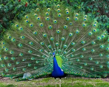 Peacock fanned tail