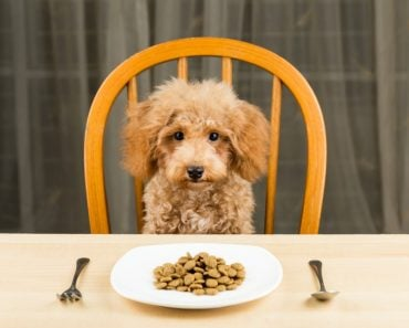 Poodle puppy with a plate of kibbles
