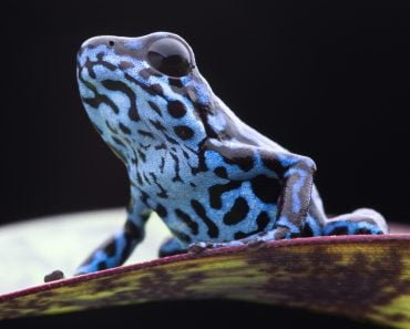 Blue strawberry poison frog