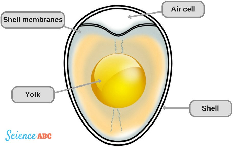Big Diagram Of An Egg - DIY Wiring Diagrams •