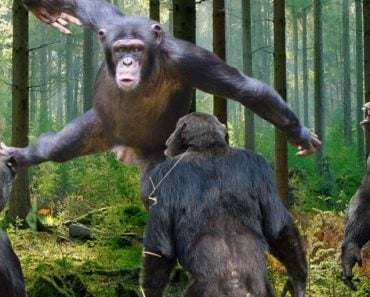 chimpanzee fight