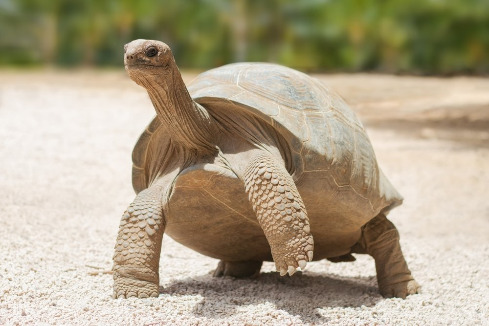 Giant grey tortoise