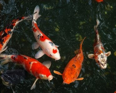 Beautiful fishes in little water pond