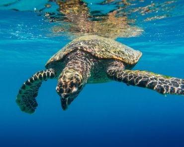 Sea turtle tortoise