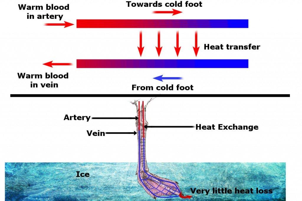 Dird leg diagram
