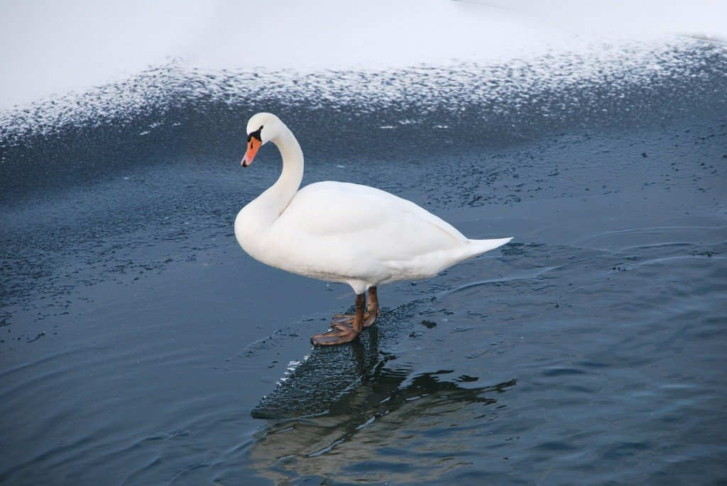 Swan duck bird in cold river