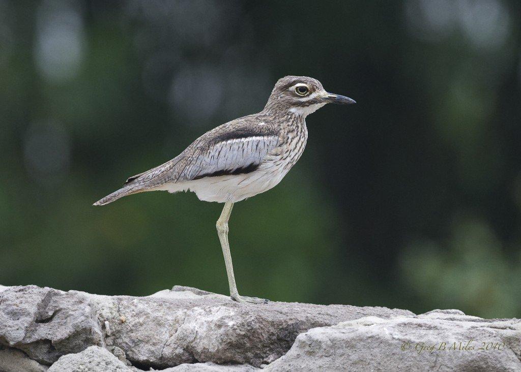 water-thick-knee-bird