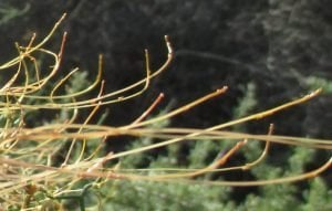 The Dodder Plant