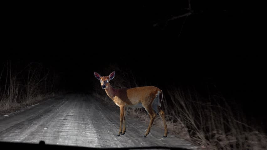 deer standing in the middle of the road
