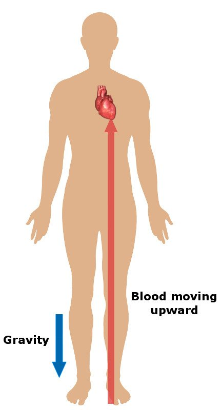 blood flow from feet diagram