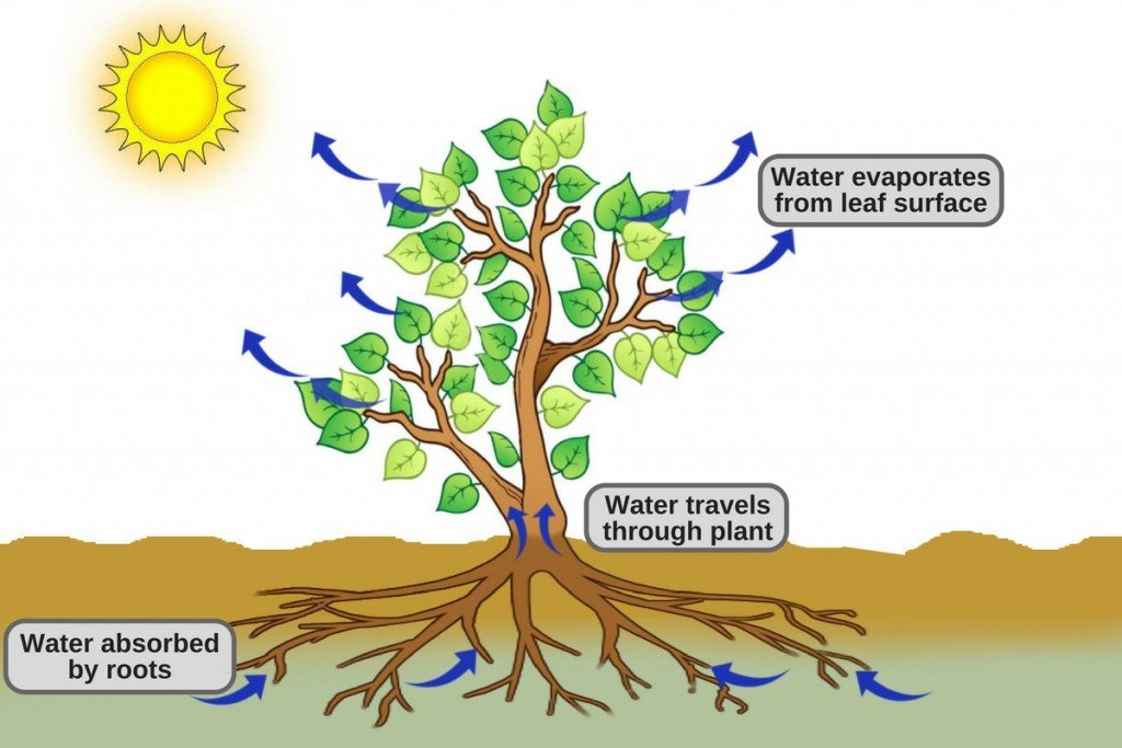 The movement of water into the roots and through the plant ... |Osmosis In Plant Roots