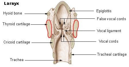 Basic parts of the human larynx Illu larynx