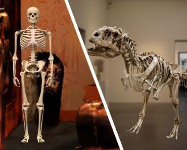 Human & Dinosaur Skeleton