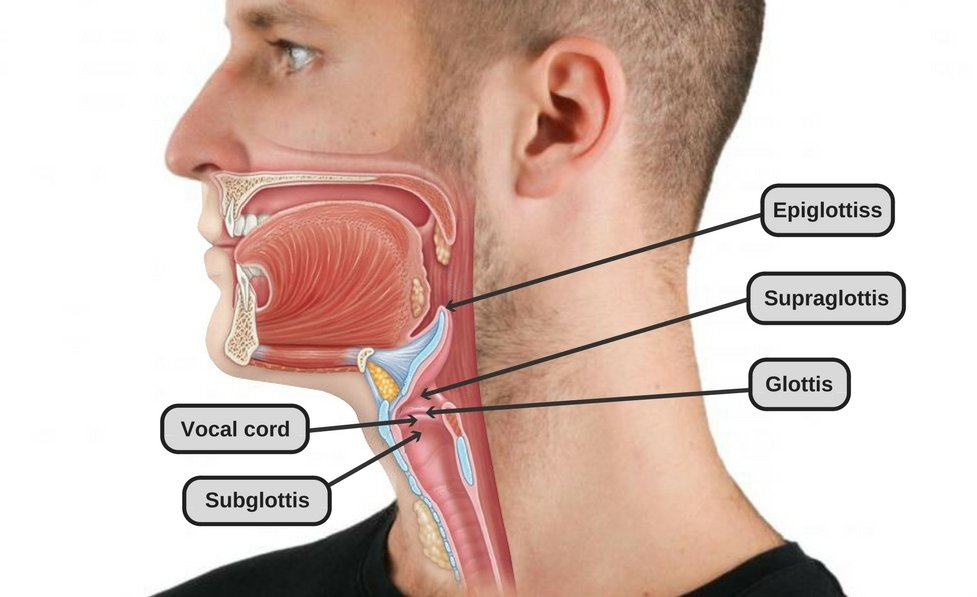 Thyroid Cartilage: Why Do Men Have Adam\'s Apple, But Women Don\'t?
