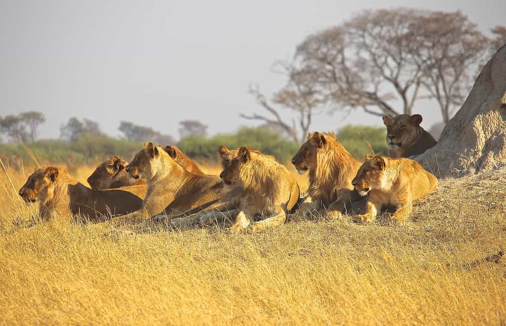 Lions pride sitting in africa
