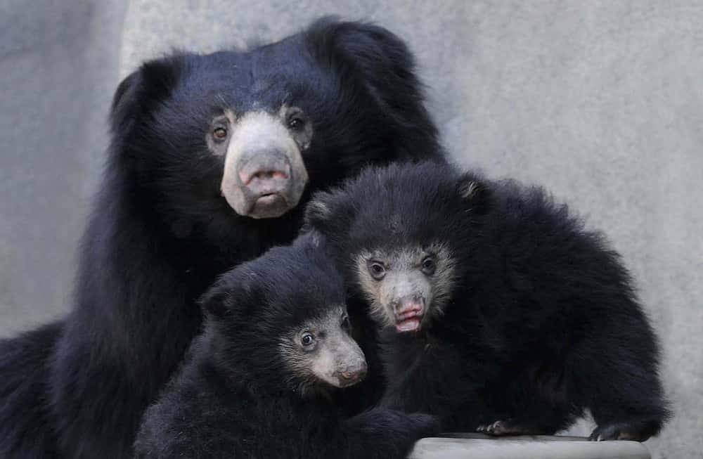 Filial cannibalism is fairly common in sloth bears.