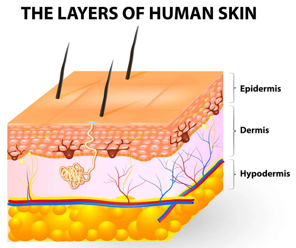 Diagram Of The Three Layers Of Skin - DIY Wiring Diagrams •