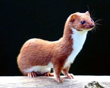 Weasel: Facts You Should Know Before Getting A Weasel